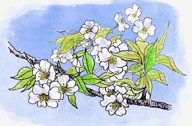 御嶽神社のヤマザクラ 4月