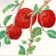 りんご 11月