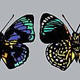 世界の美しい蝶 ファルキドンミイロタテハ