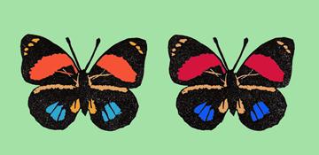世界の美しい蝶 アミドンミイロタテハ