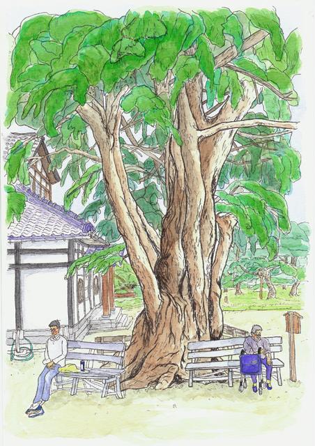 ヒマラヤスギ 高松・栗林公園 2008年10月